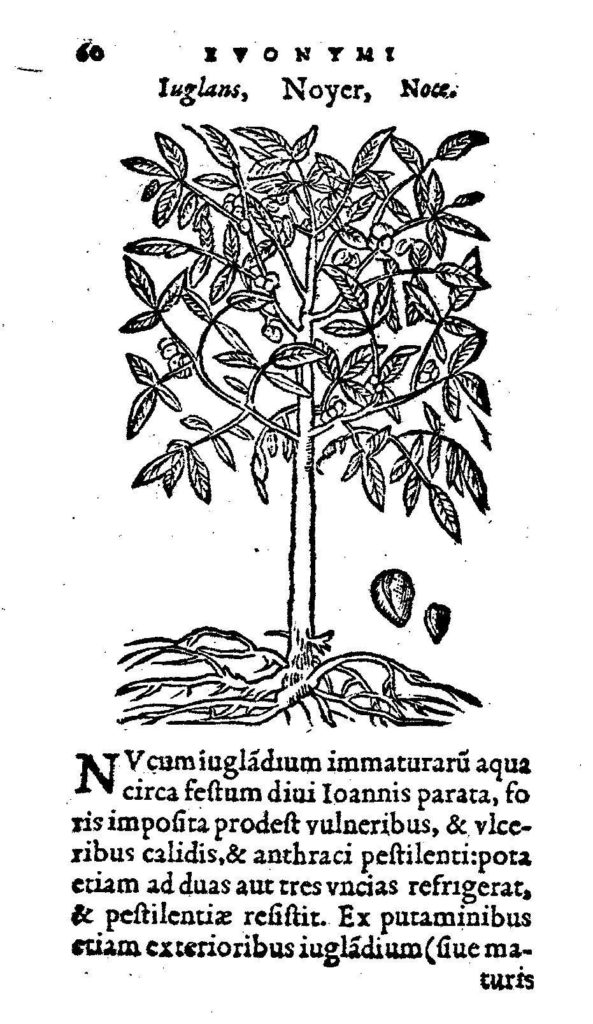 Graphic of Walnut Tree and Latin Caption